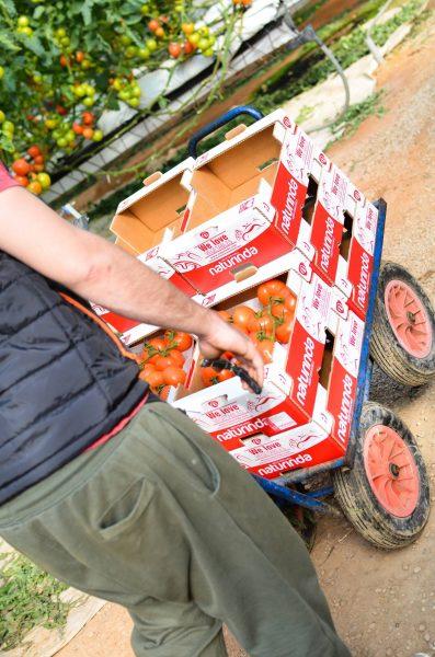 Recolección de verduras en la finca