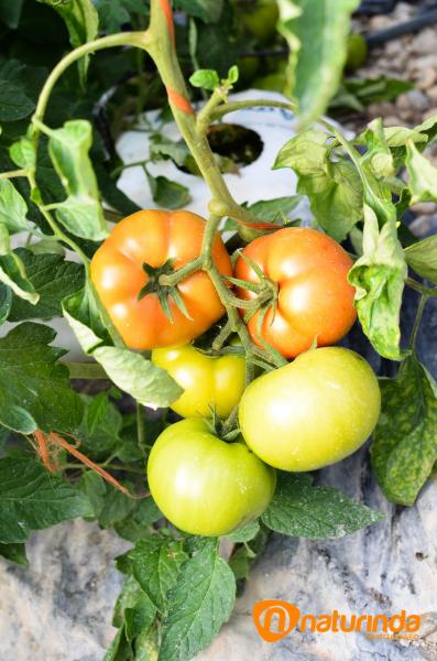 Jose antonio, tomate pasadena