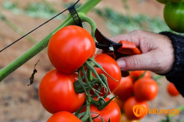 Tomates rama Naturinda Almeria